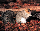 Ozark Fox Squirrel