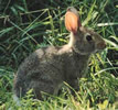 Ozark Rabbit